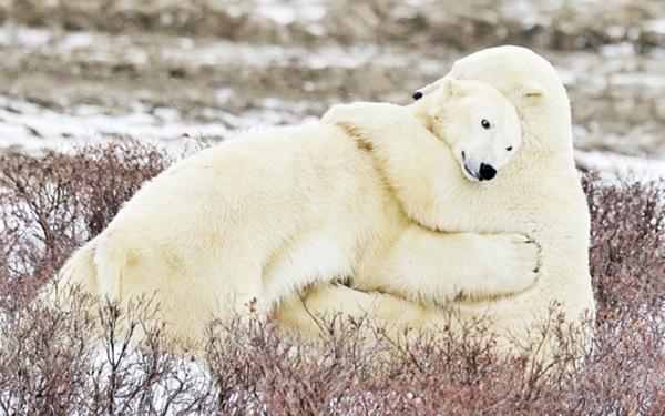 polar-bear-pictures-7