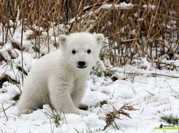 polar-bear-pictures-8
