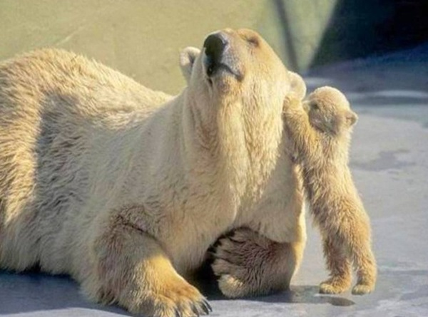 polar-bear-pictures-9