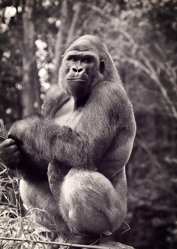 16-gorilla-photography