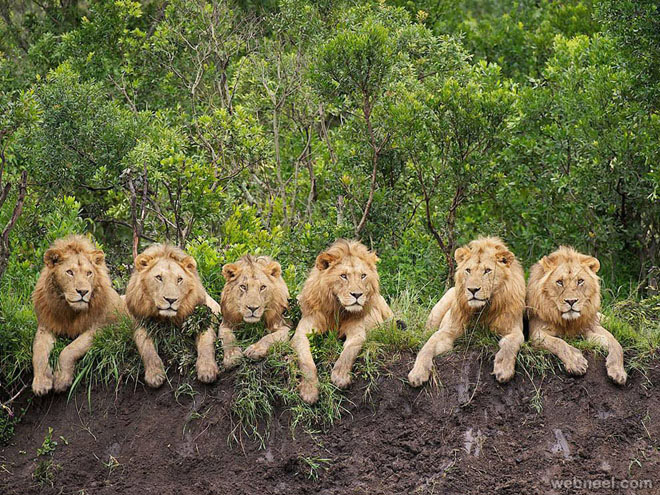 26-resting-lions-photography