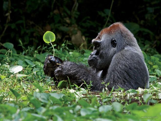 28-silverback-gorilla-photography.preview