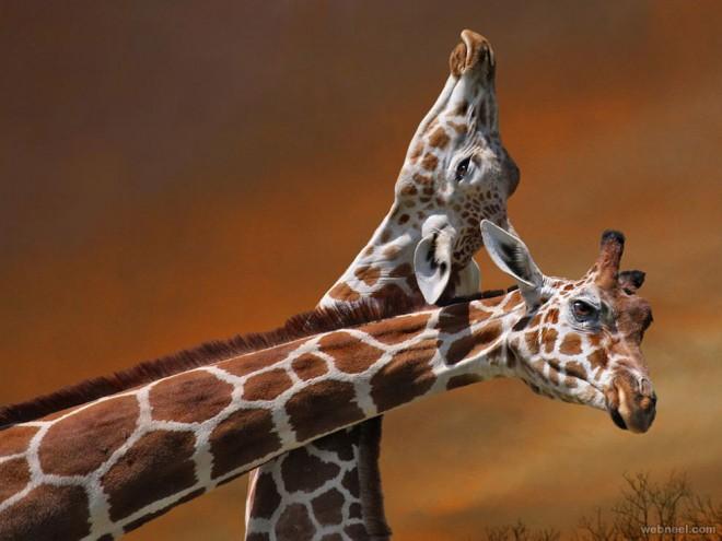 4-giraffe-mother-calf-photography.preview