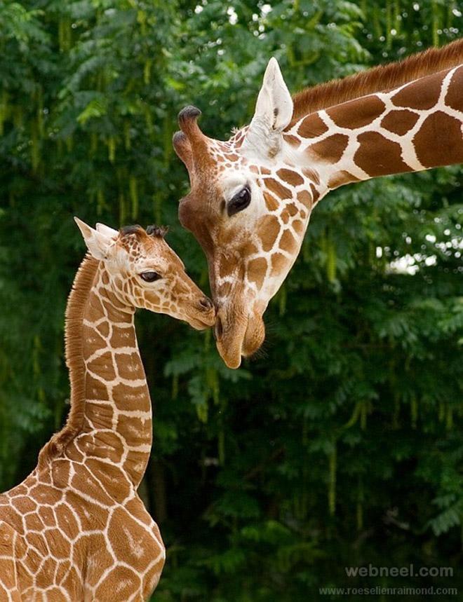 7-giraffe-photography