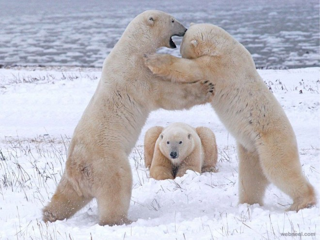9-polar-bears-playing-photography.preview